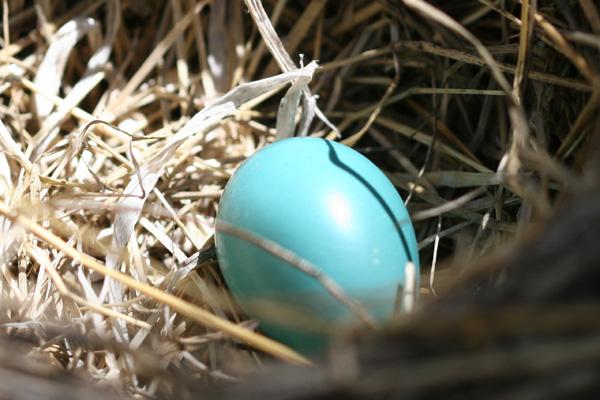 robin-egg